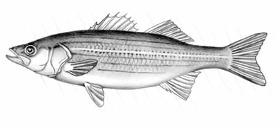 Striped bass (Morone saxitilis)