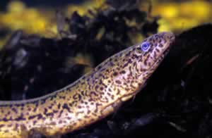 Rice eel. Photo by Richard T. Bryant. Email richard_t_bryant@mindspring.com.