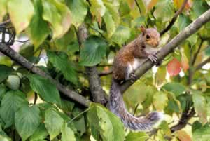Grey squirrel. Photo by Richard T. Bryant. Email richard_t_bryant@mindspring.com.