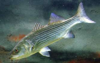 Striped bass (Morone saxatilis). Photo by Richard T. Bryant. Email richard_t_bryant@mindspring.com.