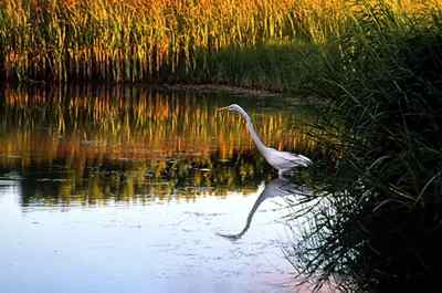 The great egret (Casmerodius albus) is recognized by its yellow bill and black legs.