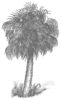 Palm Tree Leaves Coloring Pages Sabal Palmetto Young Trees Of This Southeastern