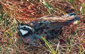 Quail nest on the ground, making the eggs vulnerable to predators including snakes and raccoons. Photo by Richard T. Bryant. Email richard_t_bryant@mindspring.com