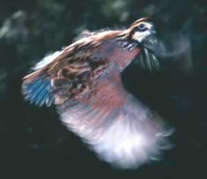 A northern bobwhite quail in flight. Photo by Richard T. Bryant. Email richard_T_bryant@mindspring.com