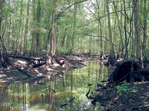 The Chickasawhatchee Swamp. Photo by Chip Evans