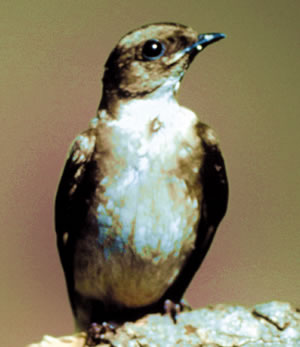 Northern Rough-winged Swallow. Photo courtesy of Cornell Lab of Ornithology.