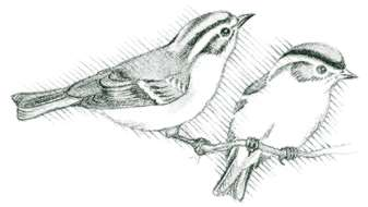 "Golden-crowned kinglet (Regulus satrapa) A restless, flitting movement and a high, thin ""ssst"" identify the kinglet."