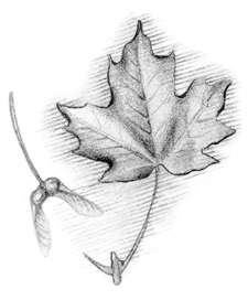 Sugar maple (Acer saccharum) Sugar maple's sap is the source of maple syrup and sugar.
