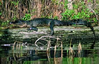 Sherpa Guides Georgia The Okefenokee Swamp Georgia S Gators