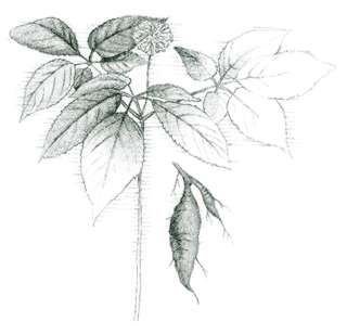 Dwarf ginseng (Panax trifolius) Believed by some to be an aphrodisiac, ginseng has been overcollected.