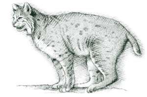 Bobcat (Lynx rufus) The bobcat is the most common wild feline in North America. A solitary animal, the bobcat's preys are usually rabbits and mice.