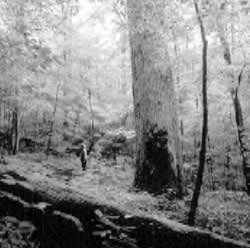 Huge poplars grow in the Joyce Kilmer–Slickrock Wilderness Area