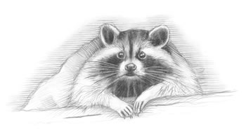 "Raccoon (Procyon lotor) The raccoon often appears to wash its food, resulting in its Latin name, ""lotor,"" meaning ""a washer."""